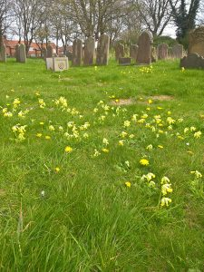 Cowslips in the Living Churchyard